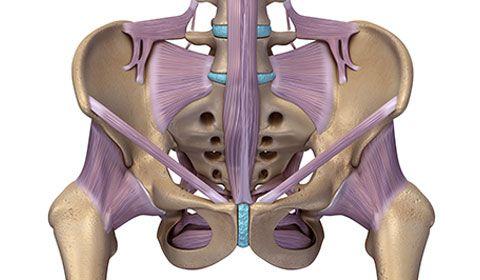 illustration of muscles on pelvis skeleton