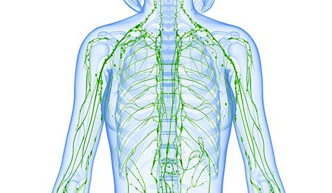 graphic of the lymphatic system